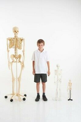 Life Size Skeleton 160cm Science , Montessori, Medical