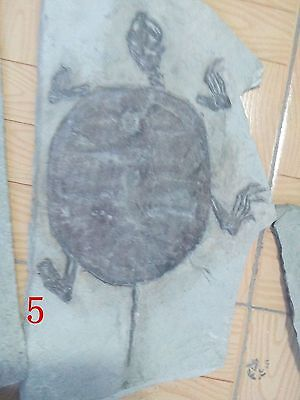 Rare Chinese Best Triassic Keichousaurus Real Turtle Fossil