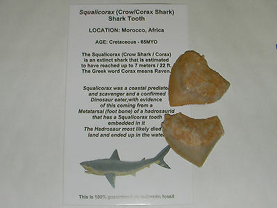 Fossil Squalicorax Crow Shark Fossil Tooth Morocco x 2