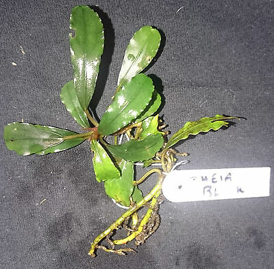 "Bucephalandra Theia ""Black"" RARE Aquatic Plant"