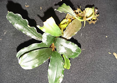 "Bucephalandra ""Theia Blue "" RARE Aquatic plant"