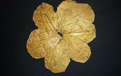 "Premium Indian Almond Leaves (Terminalia Catappa) x 10  4""- 6"" (10-15 cm)"