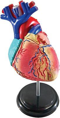 Human HEART Model Anatomy science Biology Medical Teacher Learning Resources NEW