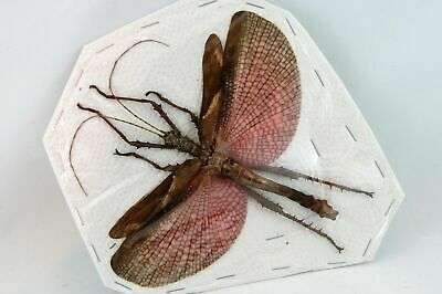 Heteropteryx dilatata (Male) SPREAD Stick insect Pink wings