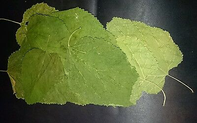 Dried Mulberry Leaves (10 mixed size leaves)
