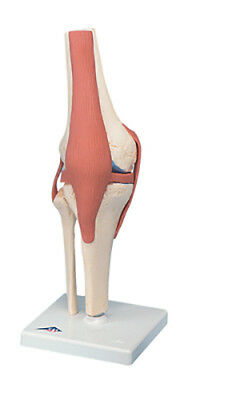 Anatomical Model - functional knee joint, deluxe  1 EA