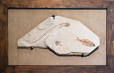 Rare Cretaceous Fossil Fish Plate with Shark and Airpichthys & Diplomystus Fish