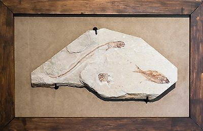 Rare Fossil Fish Plate with Shark and Airpichthys & Diplomystus Fish - Framed