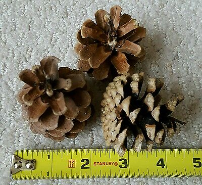 25 Small Ponderosa Pine Cones by Yessibunny =D