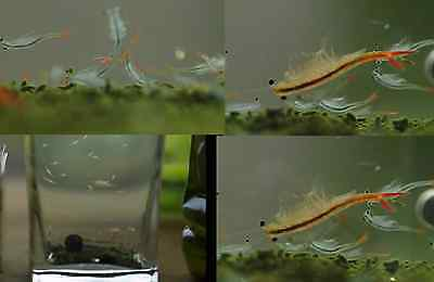 30,000 Fairy Shrimp eggs Alive food for Betta Killifish Guppy Live feeders Fish