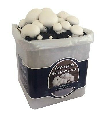 Nutley's Fresh Grow Your Own Merryhill White Mushroom Kit spawned & growing