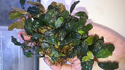 "Bucephalandra "" Copper Leaf "" RARE Aquatic Plant"
