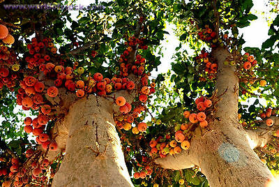 20 Sycamore Fig- Ficus sycomorus Fruit Tree seeds  T-042 COmbo S/H