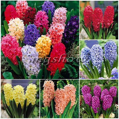 5Pcs Hyacinth Mixed Colours Spring Flowering Orientalis Bulbs Plants Garden New