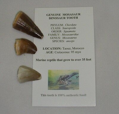 Mosasaur real teeth tooth fossil Dinosaur Marine Jurassic World x 3