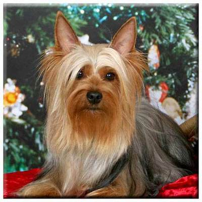 "Silky Terrier 4"" Tile"