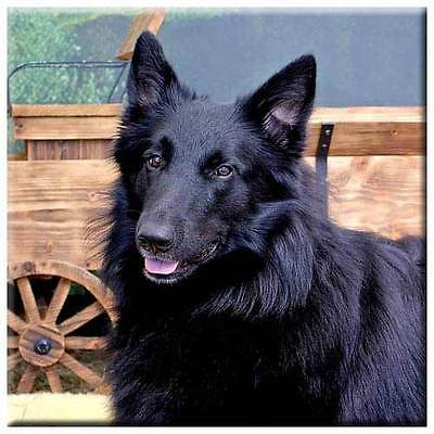 "Belgian Sheepdog 4"" Decorative, Cork Backed, Ceramic Tile"