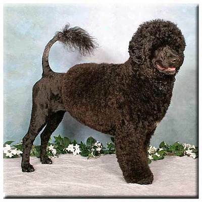 "Portuguese Water Dog 4"" Tile"