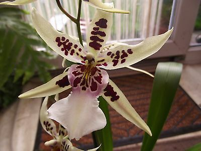 Cambria orchid plant not in bloom, FS