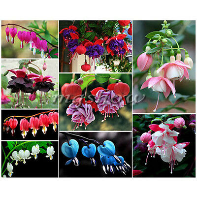 Double Petals Seeds Fuchsia Flower Hanging Dicentra Spectabilis Heart Plant Herb