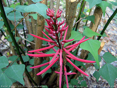 Very Rare, Hard To Find, Exotic Erythrina herbacea (Coral Bean) - 1 plant
