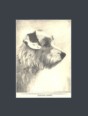 RARE Sealyham Terrier Dog Art Drawing 1935 by Malcolm Nicholson 10x13 Black Mat