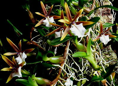 Rare Epidendrum polybulbon orchid plant not in bloom,miniature