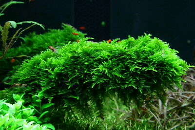 Aquariumpflanze Moos Vesicularia dubyana 'Christmas' Tropica in Vitro 1-2 Grow