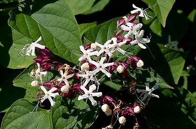 Rare Hard To Find Exotic Clerodendrum trichotomum Glorytree 1 plant  best price