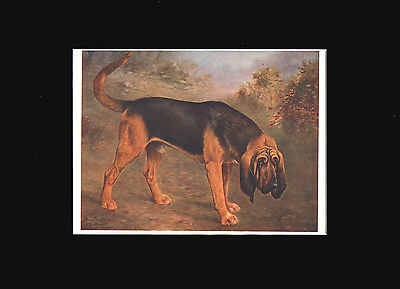 Antique Print 1907 Bloodhound Dog by Lilian Cheviot  9X12 Matted