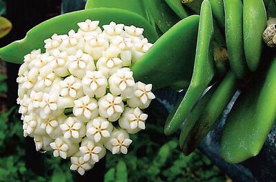 Hoya Pachyclada Medium Size  Mature Rooted Plant