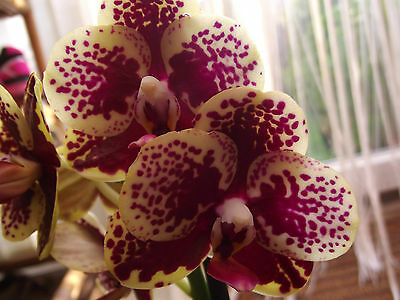 Phalaenopsis orchid plant in bloom,3 spikes