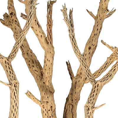 Young Non-Aged Cholla Wood 24""