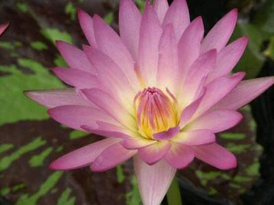 CLEARING SALE * Candy Pink  * Tropical WATER LILY Tuber *  N 'June Allison'