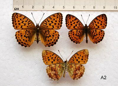 Brenthis daphne -  Marbled Fritillary (A2)