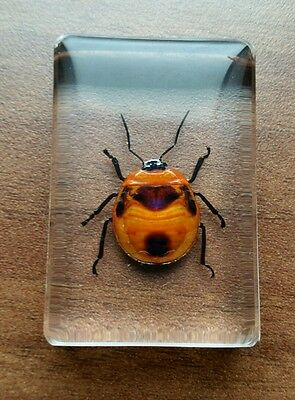 Flower Bugs/ Beetle in Resin / lucite, taxidermy