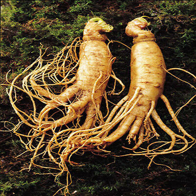 Chinese Ginseng Root 6 Real Seeds King of Herb 100% Guarantee