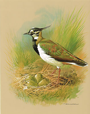 The Lapwing - Vintage 1965 Bird Print by Basil Ede