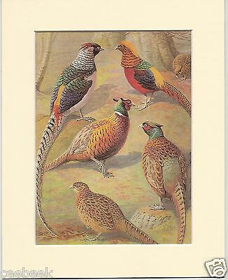 Pheasant, Golden Pheasant & Lady Amherst's Pheasant Mounted Bird Print #197153