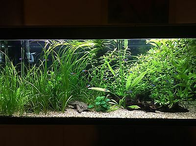 Fluval Roma 240 Tropical Complete Set Up