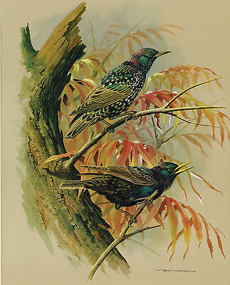 The Starling - Vintage 1965 Bird Print by Basil Ede