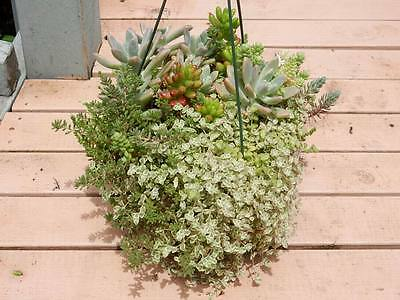 Mixed Ornamental Succulents in Hanging Basket