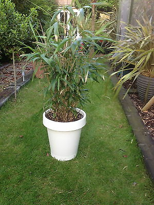A pair of large bamboo plants in two large pots,