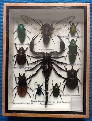 10 Insects Display Jewel Stag Beetle Scorpion Taxidermy Insect Bug Entomology