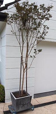 Beautiful soft pink  Crape Myrtle Tree (Pot Included)