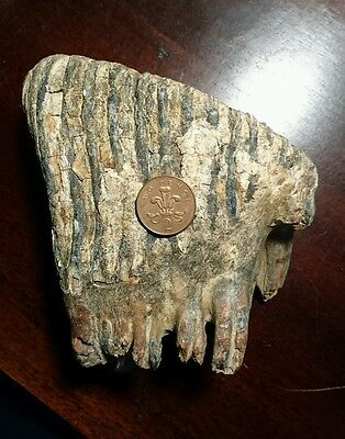 Woolly mammoth fossilised tooth, museum quality,  1.865kg.