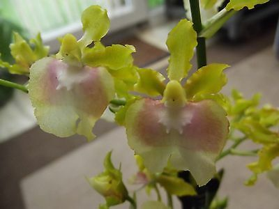 Oncidium hybrid orchid plant in bloom green-pink