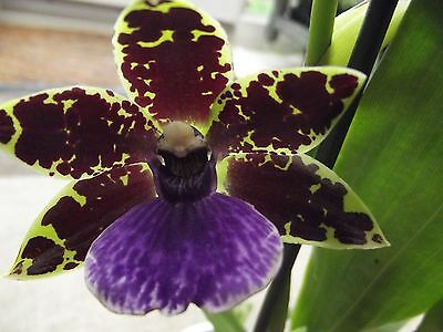 Zygopetalum orchid plant in bloom,scented 1 spike
