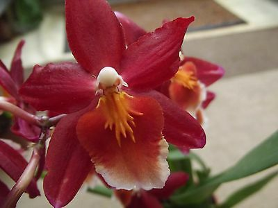 Cambria orchid plant in bloom 2 spike