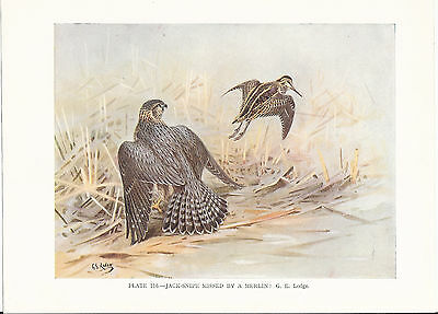 Jack Snipe Missed By A Merlin - 1930s Bird Print by G.E. Lodge